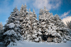 Winter forest. Beautiful winter sunny day in the mountains (Carpathians Stock Photos