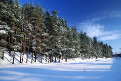 Winter forest. In bright sunny day royalty free stock photography