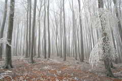 Winter forest. Forest in winter tree with snow Royalty Free Stock Image