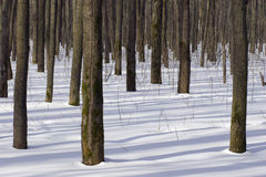 Winter forest. Trees in a winter wood Royalty Free Stock Images