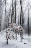 Winter in the forest. Winter in a forest with snow on the branch and fog Royalty Free Stock Photo