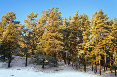Winter Forest. Pine Forest On A Sunny Winter Day Royalty Free Stock Photos