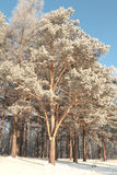 Winter in the Forest. Cold day in the pine forest Royalty Free Stock Image
