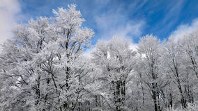 Winter forest. With frosted tree branches over blue sky background Royalty Free Stock Photo