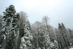 Winter Forest. Postcard or calendar file Royalty Free Stock Photo