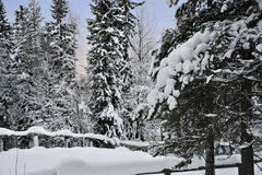 Winter forest. National finnish park Rovaniemi behind polar circle in winter Stock Photography