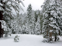 Winter Forest. Forest in Winter, Sierra Nevada, Ca, USA stock photos