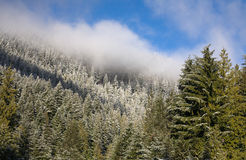 Winter forest. Winter mountain forest with white cloud just above it on blue sky Royalty Free Stock Photo