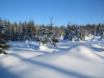 Winter forest. A pine forest in winter Stock Images