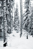 Winter forest. Winter theme - trees in a park covered with snow Royalty Free Stock Photo