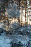Winter forest. Trees in frost in winter, Russia Stock Images