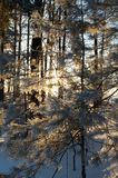 Winter forest. Trees in frost in winter, Russia Stock Image