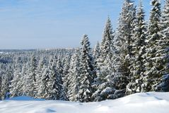 A winter forest. A much of fir-tree in snow stock photo
