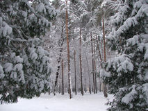 Winter forest. Beautiful scenery of the forest covered by snow Royalty Free Stock Images