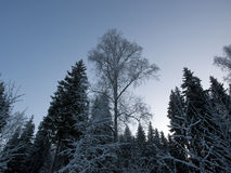 Winter forest. Covered by the snow Royalty Free Stock Images