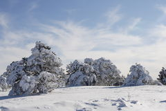 Winter forest. Winter pine-wood, covered deep snow Stock Photos