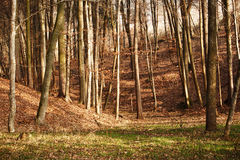 Winter Forest. A scene in an Austrian forest with the sunlight shining through from the side Royalty Free Stock Photography