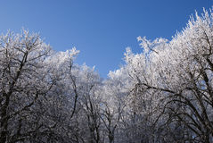 Winter Forest. Could frosty winter background royalty free stock photo