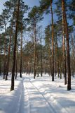 Winter forest. With snow and trees in poland Stock Photography