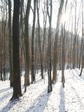 Winter forest. Forest in the winter Stock Image