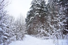 Winter forest abundantly covered with snow. All the trees are under cover of white fluffy. This is what the real winter looks like royalty free stock photo