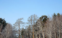 Winter forest against the bright blue sky. Royalty Free Stock Image