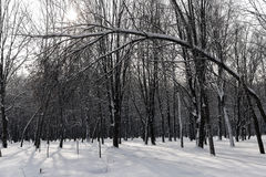 Winter forest background Royalty Free Stock Photo