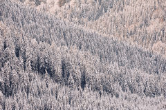 Winter forest background Stock Photo