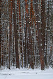 Winter forest. Background with the image of a winter forest stock image