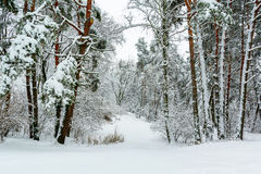 Winter forest background Royalty Free Stock Image