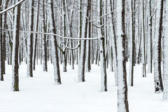 Winter forest with bare tree trunks and branches covered by snow Stock Image
