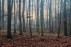 Winter Forest in Bavaria Royalty Free Stock Images