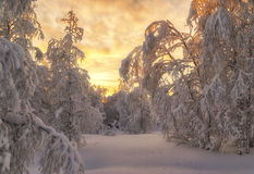 Winter forest. Beautiful winter landscape. winter forest Royalty Free Stock Images