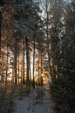 Winter forest in the beautiful light of dawn Stock Image