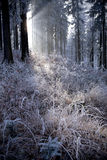 Winter forest with beautiful light Stock Image