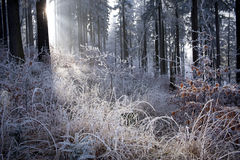 Winter forest with beautiful light. Winter forest with beautiful  morning light Royalty Free Stock Image