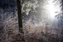 Winter forest with beautiful light Royalty Free Stock Photos