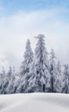 Winter forest. Winter beautiful forest and snow Stock Images