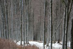 Winter Forest. Winter in a beech tree forest stock photos