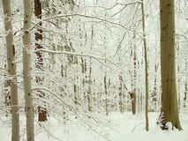 Winter forest of beech trees in mountains Royalty Free Stock Photography
