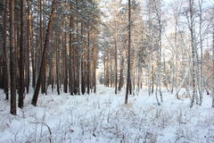 Winter forest. Winter birch and pine trees photo Royalty Free Stock Image