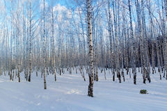 Winter forest birches Royalty Free Stock Images