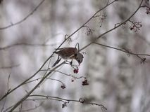 Free Winter Forest!Birds Pecking Berries! Royalty Free Stock Images - 134586389
