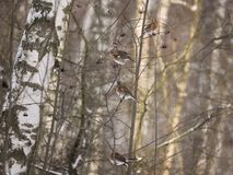 Free Winter Forest!Birds Pecking Berries! Stock Images - 134586504