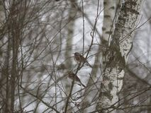 Free Winter Forest!Birds Pecking Berries! Royalty Free Stock Photo - 134586595
