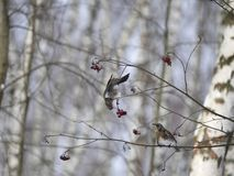 Winter forest!Birds pecking berries! royalty free stock image