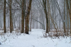 Winter forest blizzard Royalty Free Stock Image