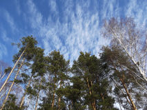 Winter forest. Blue sky. Rare clouds. Forest. Pine to the sky. A bright Sunny day. Landscape. Royalty Free Stock Photo
