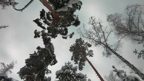 Winter forest. The camera looks up at the sky and trees and spins. It`s snowing, Chic snowy pines. A look from the ground to the t. Op stock video footage