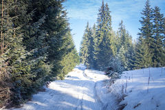 Winter forest in the Carpathians. Under sunbeams royalty free stock photo